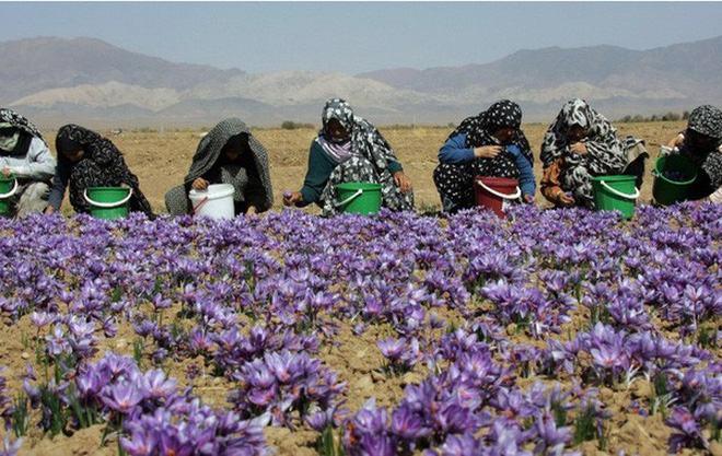 Saffron - Nhụy Hoa Nghệ Tây Có Phải Thần Dược Làm Đẹp 3