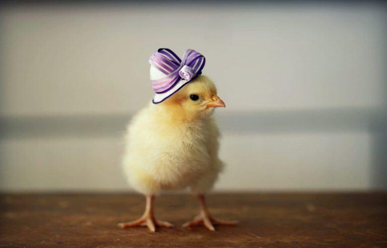 Top hình ảnh gà con ngộ nghĩnh đáng yêu nhất - Động Vật 128