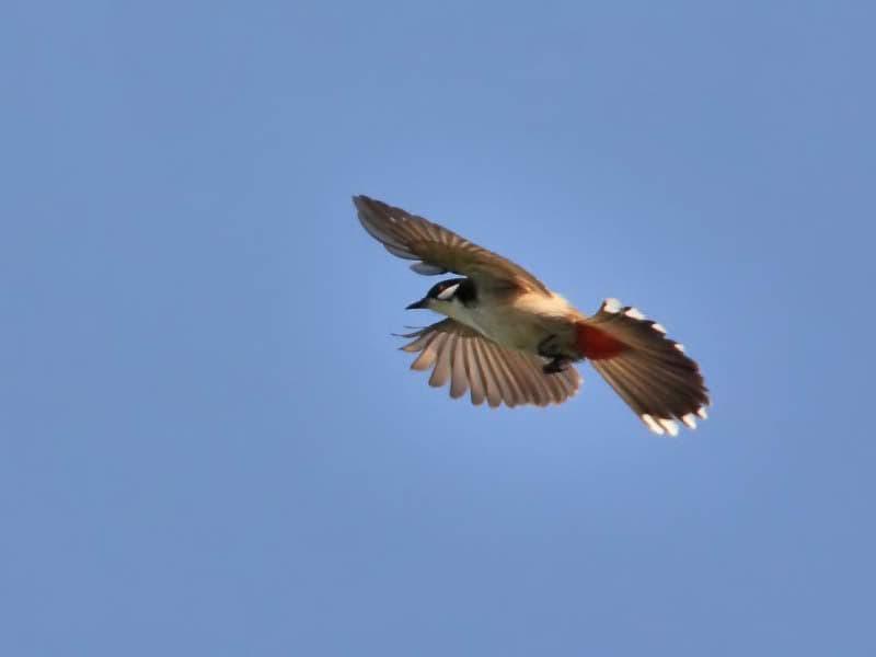 Hình Ảnh Top 20 hình ảnh chim chào mào đẹp nhất - Động Vật Kênh Kiến Thức Và Tri Thức